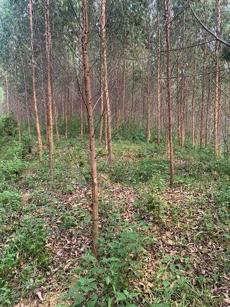 Cần bán 3.5 ha đất Đã Trồng Cây Keo Tại Sơn Dương, Tuyên Quang.